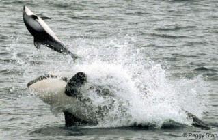 Photos d'orque et leurs proies - Page 2 Killer10