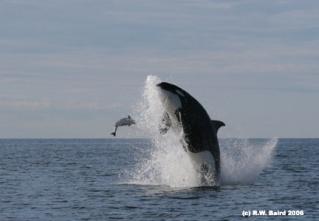 Photos d'orque et leurs proies - Page 5 Transi10