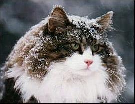 """Concours photos """"Les chats"""" du 3 février au 10 février - Page 2 Fjord_10"""