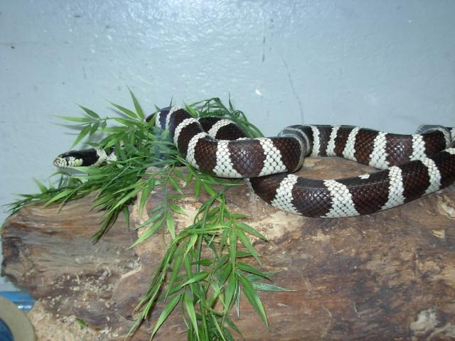 Le Serpent Roi de Californie Dscn1011