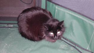 MILENA... Typée angora grise, femelle, env 2 ans (adoptée) Pict0020
