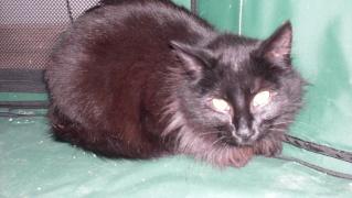 MILENA... Typée angora grise, femelle, env 2 ans (adoptée) Pict0021
