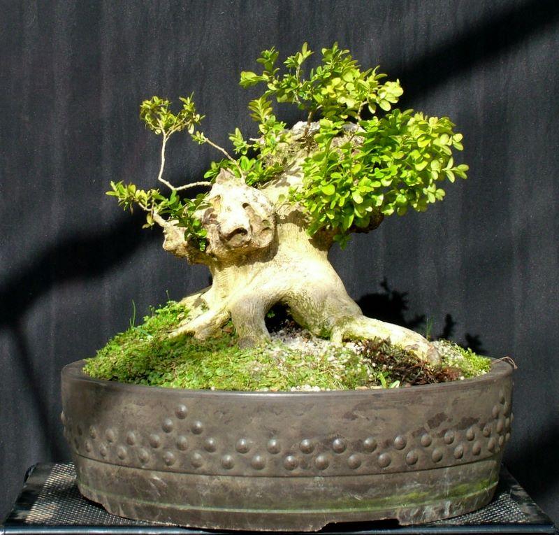 Busy bonsai weekend Dscf3614