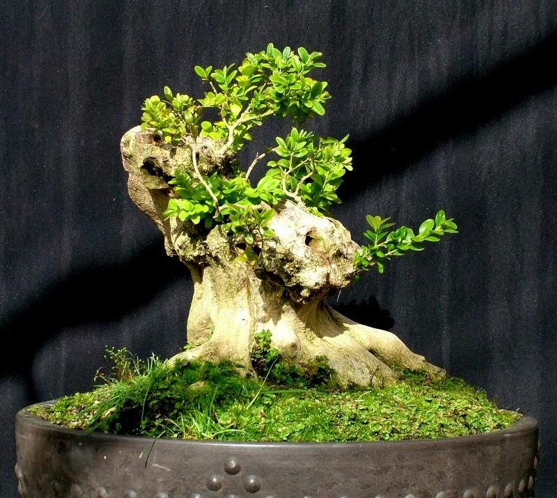 Busy bonsai weekend Dscf3615