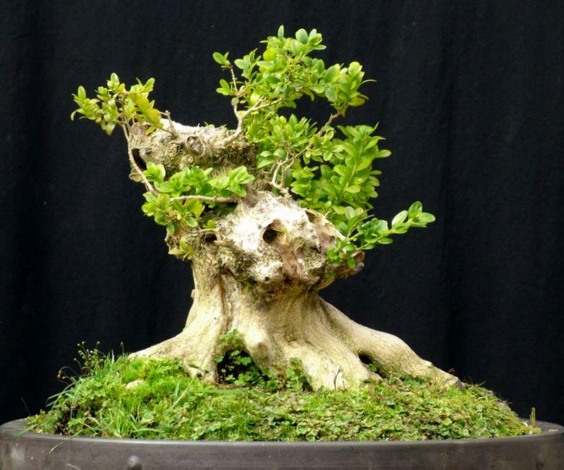 Busy bonsai weekend Dscf3718