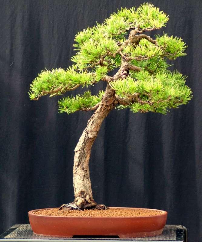 Busy bonsai weekend Dscf3719