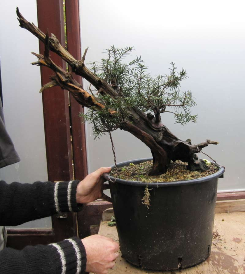Wiring an Old Yew into a training pot 01-big10