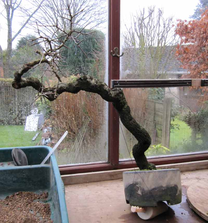 Literati Prunus Spinosa 'Fifty' final potting from Duffet to Albright 01_bla10