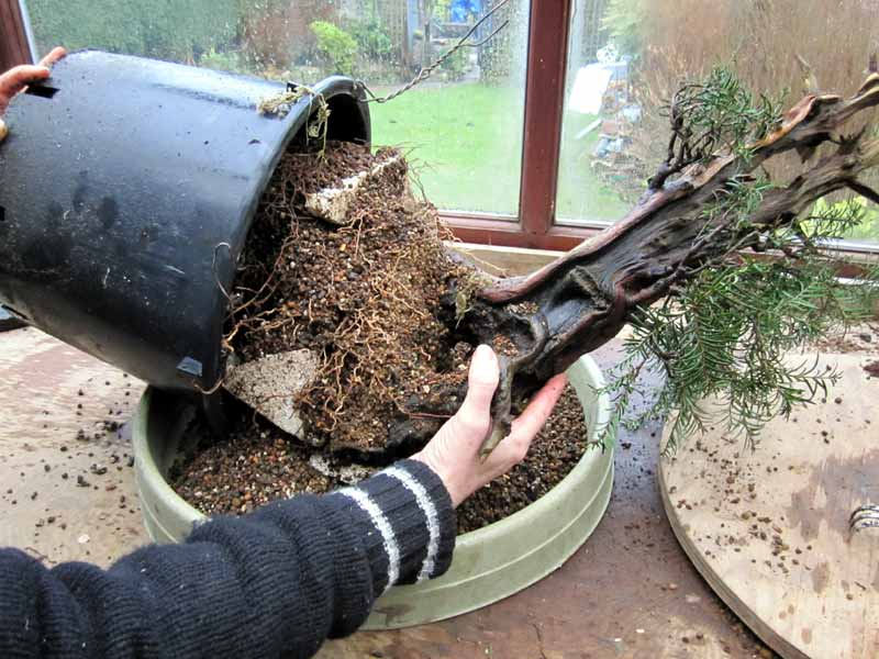 Wiring an Old Yew into a training pot 03-big10