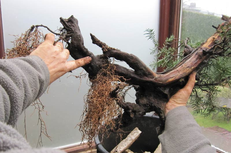 Wiring an Old Yew into a training pot 04-big10