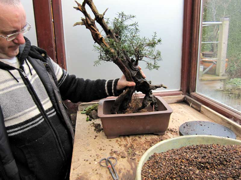 Wiring an Old Yew into a training pot 09-big10