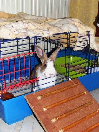 Charlotte,  lapine stérilisée, née en 2009 00110