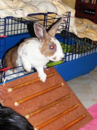 Charlotte,  lapine stérilisée, née en 2009 00410