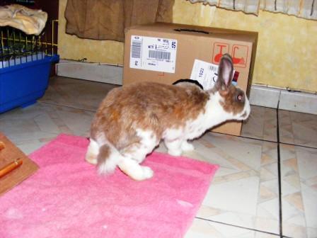 Charlotte,  lapine stérilisée, née en 2009 00610