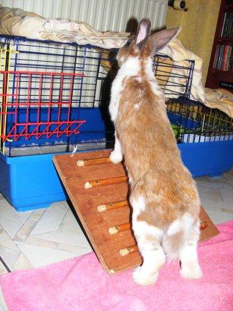 Charlotte,  lapine stérilisée, née en 2009 00710