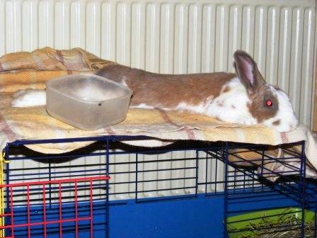 Charlotte,  lapine stérilisée, née en 2009 Charlo10