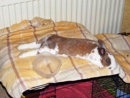 Charlotte,  lapine stérilisée, née en 2009 Charlo11