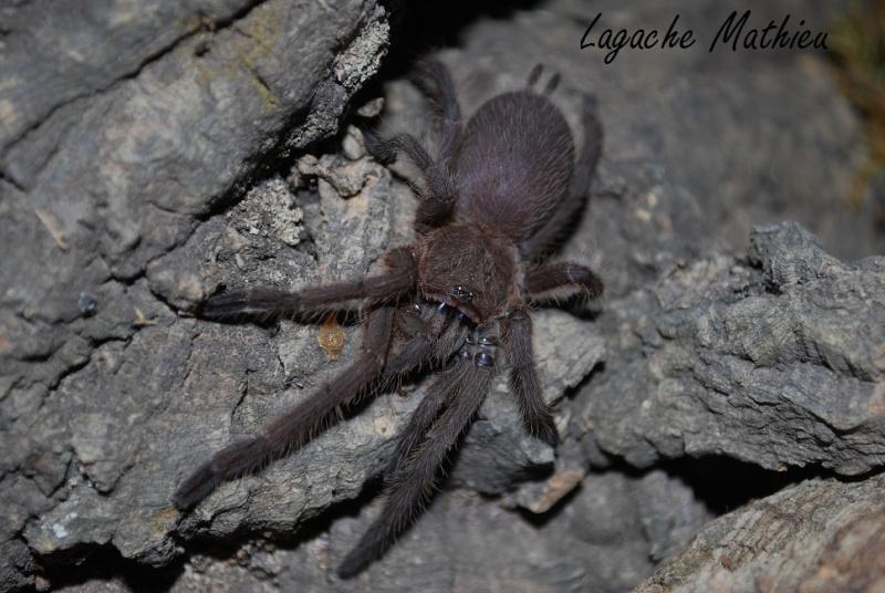 Mygale - Chilobrachys sp penang Chilob10