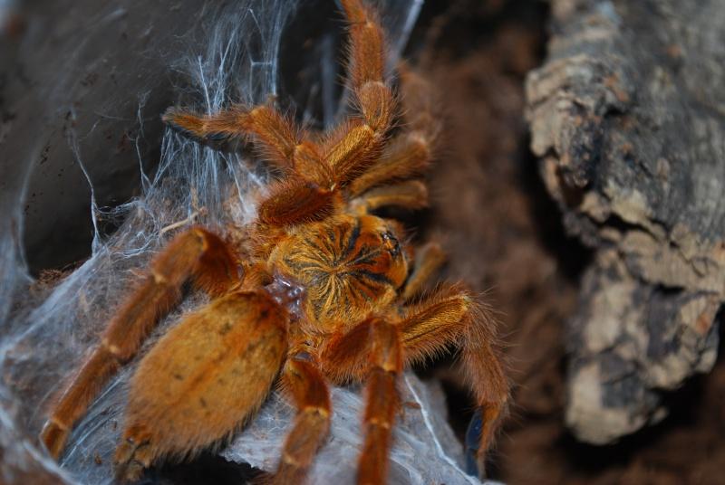 Mygale - Pterinochilus murinus Pterin11