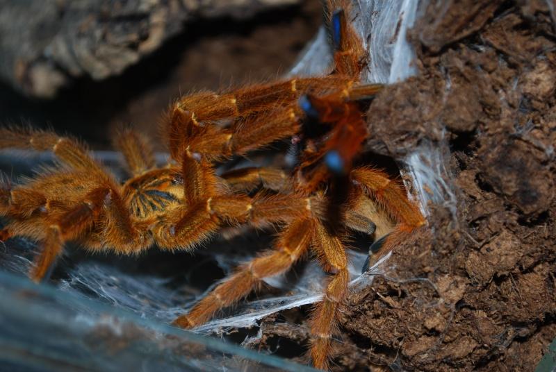 Mygale - Pterinochilus murinus Pterin13
