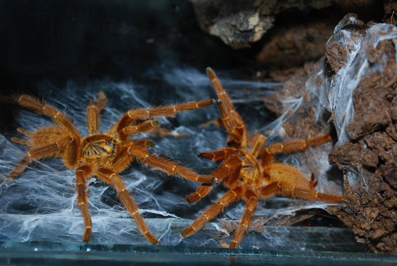 Mygale - Pterinochilus murinus Pterin15
