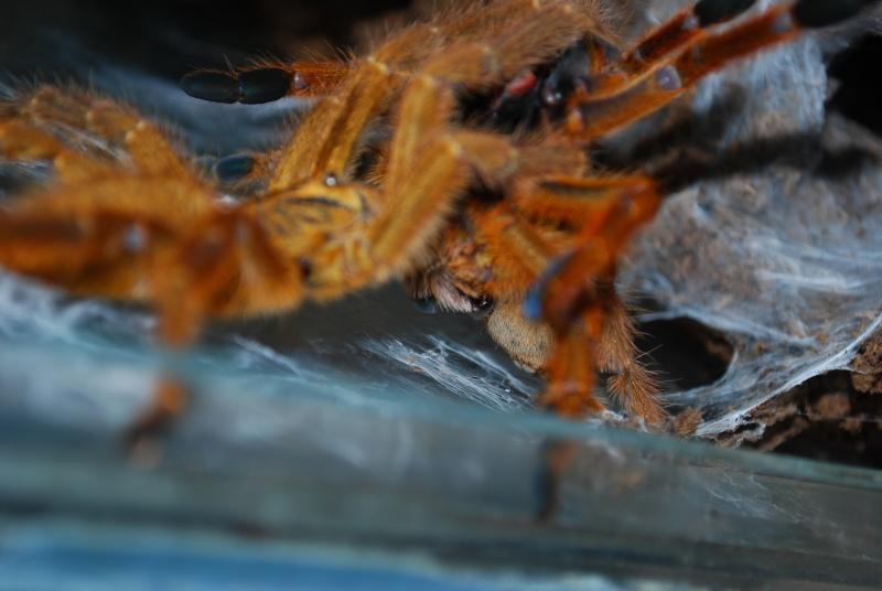 Mygale - Pterinochilus murinus Pterin17
