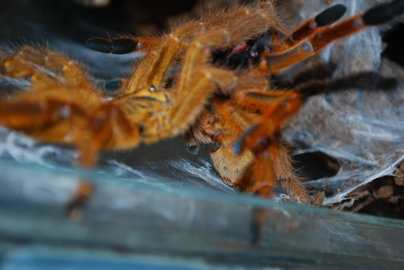 Mygale - Pterinochilus murinus Pterin18
