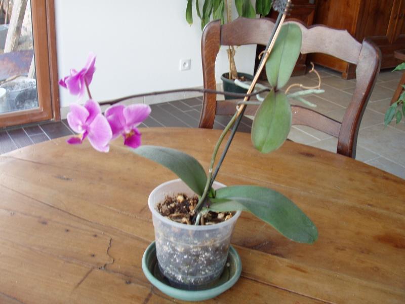 """Un """"rejeton"""" sur une tige d'orchidée P1010011"""