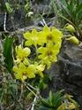 """Un """"rejeton"""" sur une tige d'orchidée P1010117"""