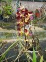 """Un """"rejeton"""" sur une tige d'orchidée P1010118"""
