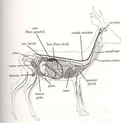 Anatomie du gibier ! Chevre10