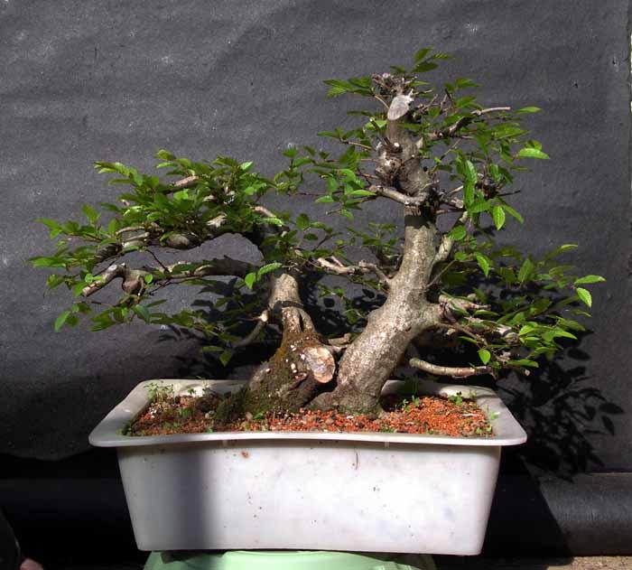 Oriental hornbeam (Carpinus orientalis) 2-200610