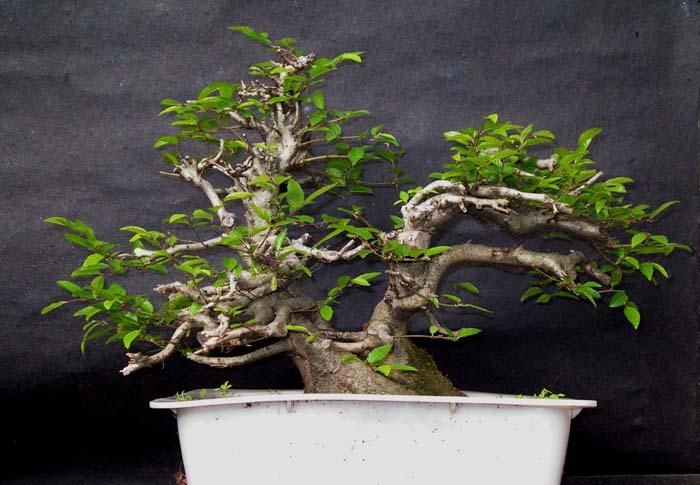Oriental hornbeam (Carpinus orientalis) 3-200610