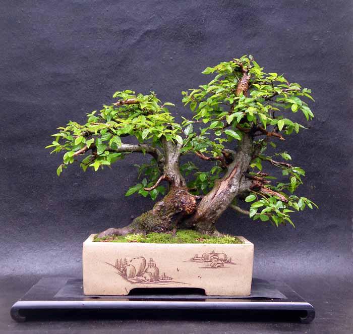 Oriental hornbeam (Carpinus orientalis) 4-200610