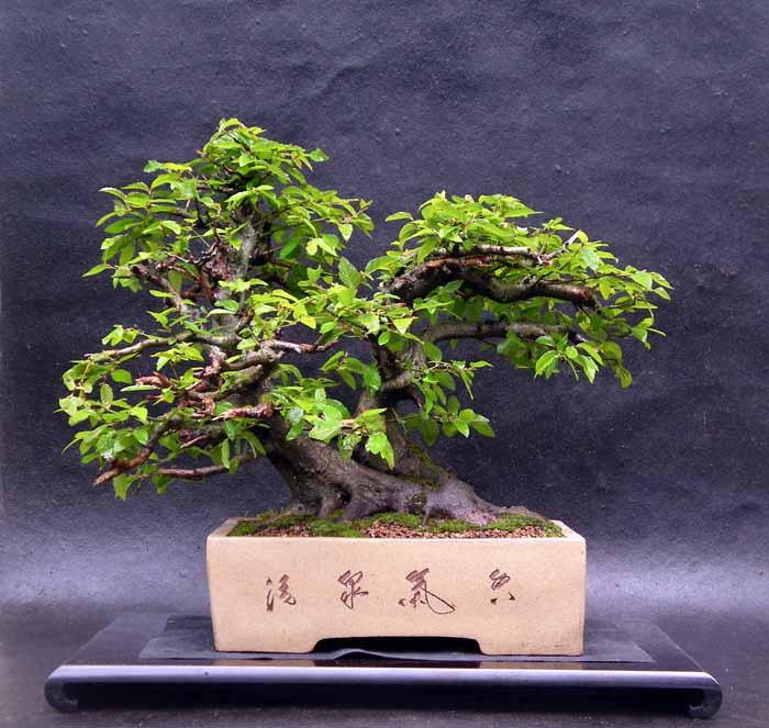 Oriental hornbeam (Carpinus orientalis) 5-200610