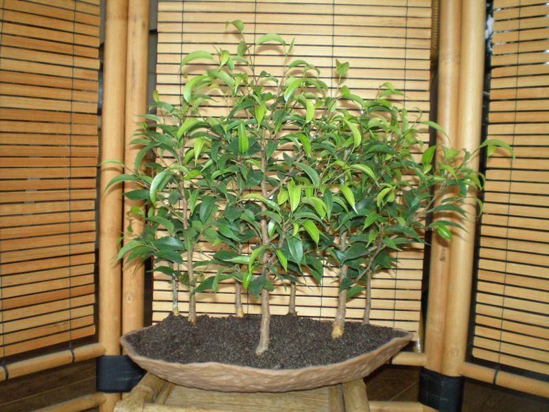 Ficus forest Ficus_11
