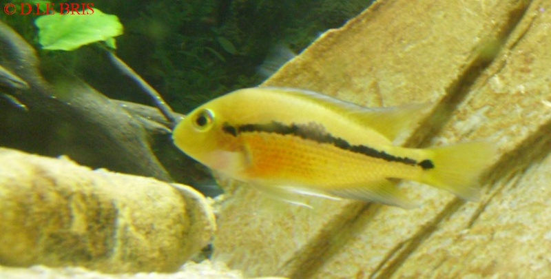 Hypsophrys nicaraguensis S7308910