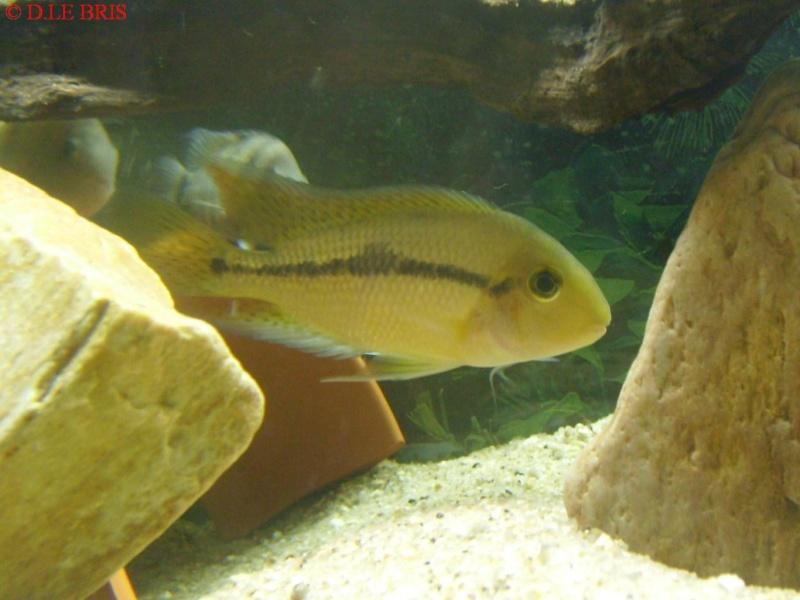 Hypsophrys nicaraguensis S7308911