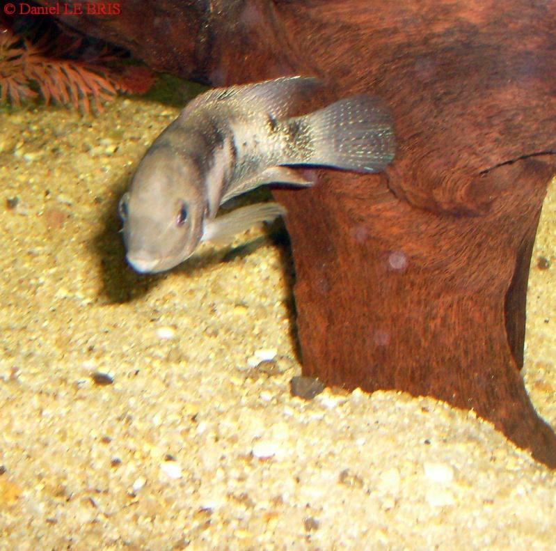 Photos de cichlidés Amérique centrale S7309412