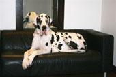 Résultats des dogues allemands et petits brabancons