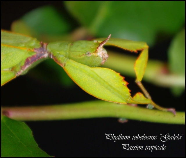 "Phyllium tobeloense ""Galela"" (P.S.G n° ???) Receiv19"