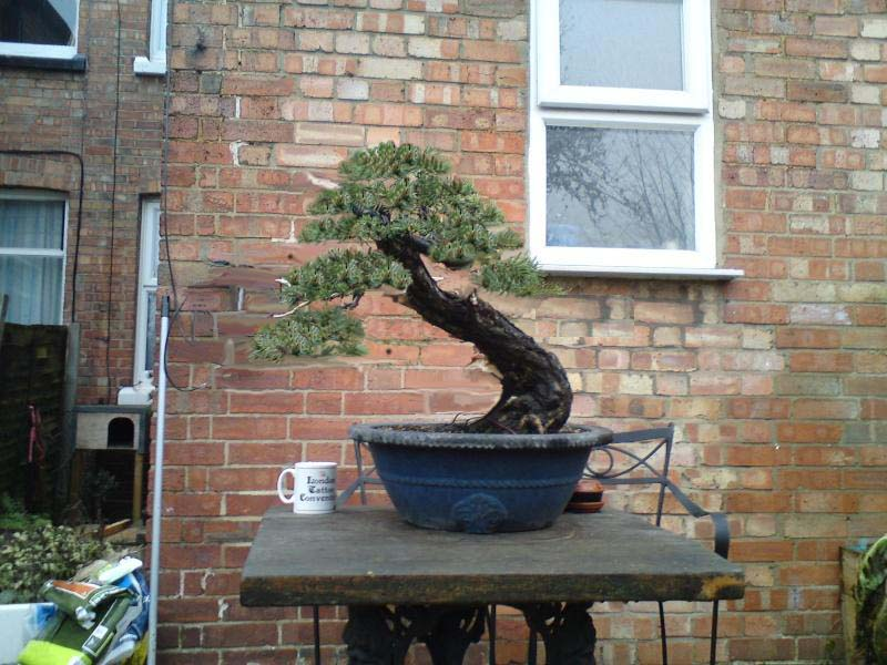 scots pine first styling Schots10