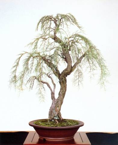 Tamarisk Bonsai