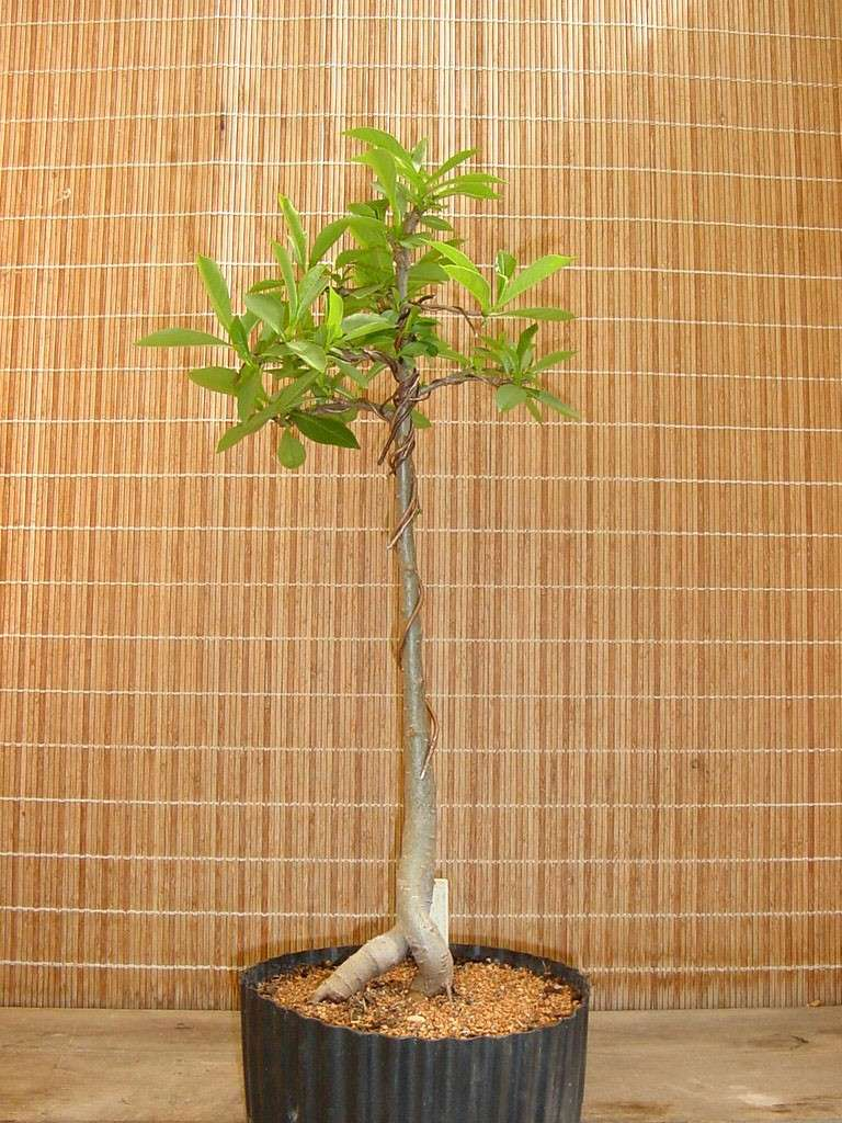 how to make Baobab bonsai A_digi10