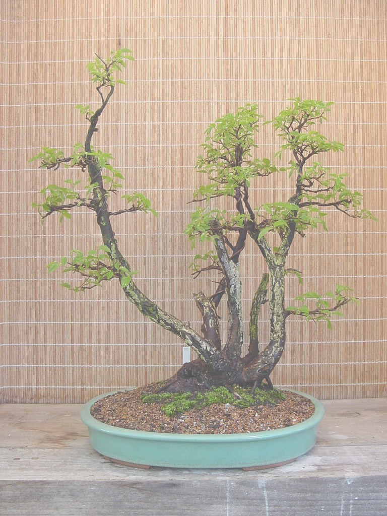 American Red Elm (Ulmus rubra) U_rubr14