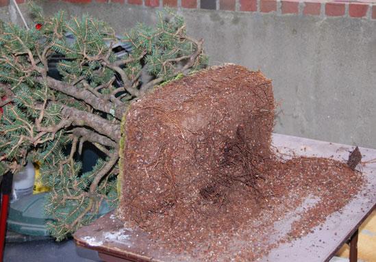 spruce clump Dsc_0018