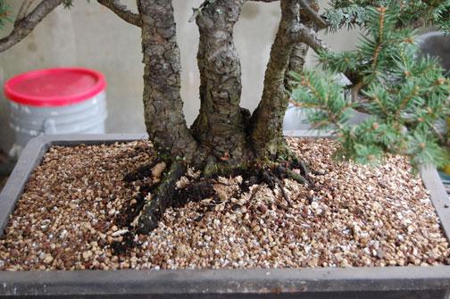 spruce clump Dsc_0019
