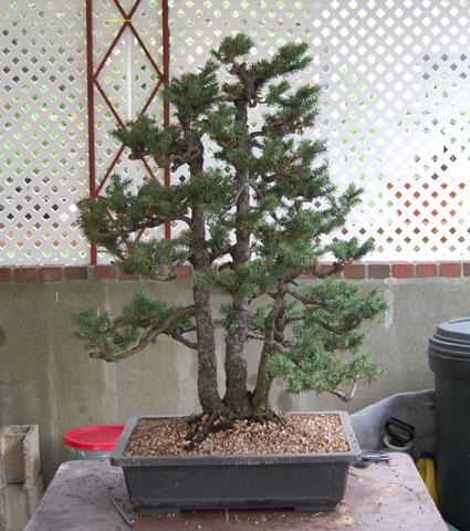spruce clump Dsc_0020