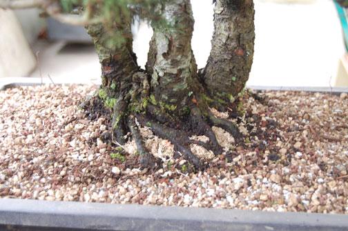 spruce clump Dsc_0021