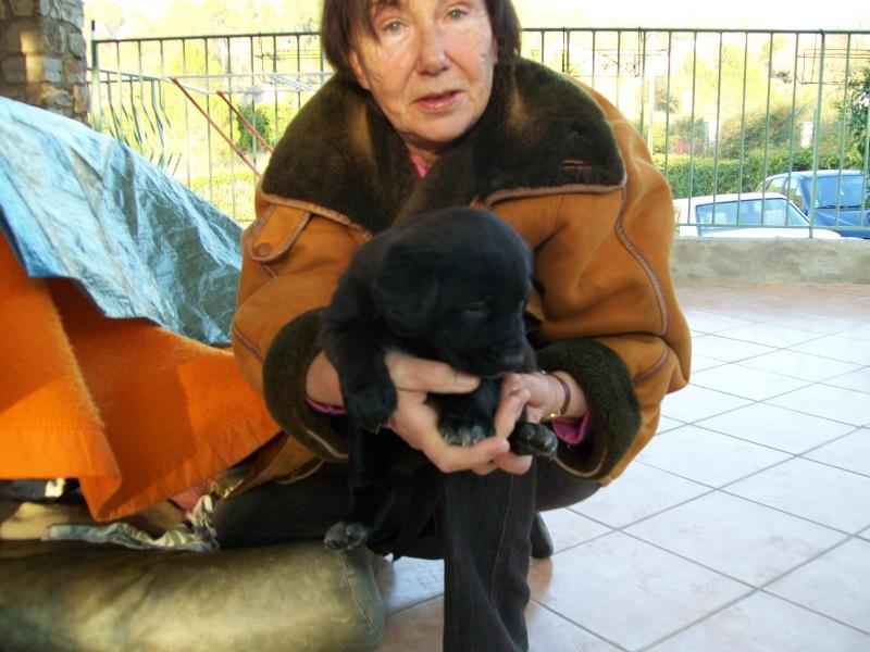 Chiots femelles croisées Labrador à placer dans le VAR 100_0312